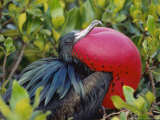 Great Frigate Bird  Courting Male with Fully Inflated Gular Pouch  Galapagos