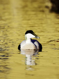 Eider  Adult Male on Water  Norway