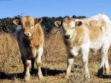 Texas Longhorn  Calves  Colorado  USA