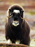 Musk Ox  Portrait of Adult Female on Tundra  Norway