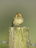Meadow Pipit  Juvenile Perched on Fence Post  Scotland