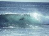 Galapagos Sea Lion  Body Surfing  Galapagos