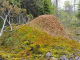 Ant Hill  Kuusamo Area  Northeast Finland
