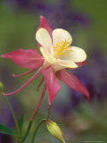 Hybrid Columbine  Aquilegia Spp Oregon