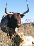 Texas Longhorn  with Calf  Colorado  USA