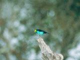 Paradise Tanager  Part of Mixed Species Flock Feeding  Peruvian Amazon