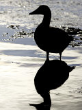 Eider  Portrait of Adult Silhouetted in Tidal Estuary  Norway