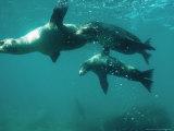 Galapagos Sea Lion  Pups Cavorting  Galapagos