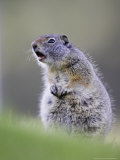 Uinta Ground Squirrel  Adult Calling Alarm as Warning to Others in Colony  Wyoming  USA