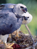 Harpy Eagle  Delivering Fresh Tambopata Kill  Tambopata River  Peruvian Amazon