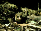 """Marsupial Mouse  """"Monita Del Monte"""" South Chile"""