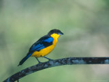 Blue Winged Mountain Tanager  Western Slope of Pichincha Volcano  Ecuador