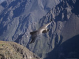 Andean Condor  Sub-Adult Male in Flight  Peru