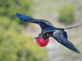 Great Frigate Bird  Male in Flight with Fully Inflated Courtship Air Balloon  Galapagos