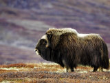 Musk Ox  Adult Female on Tundrain Autumn  Norway