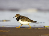 Turnstone  Adult Running Along Tide Line of Beach  UK