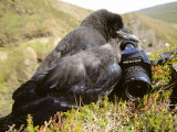 Common Raven  and Camera  Iceland
