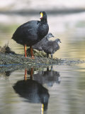Giant Coot  with Chicks on Floating Nest  Lauca National Park  Chile