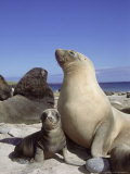 New Zealand (Hooker) Sea Lion  Cow Bonding with Young Pup  Auckland Group
