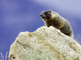 Yellow-Bellied Marmot  Calling an Alarm from Rock to Others in Colony  USA