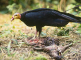 Lesser Yellow Headed Vulture  Feeding  Tambopata River  Peruvian Amazon