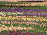 Pattern in Rows of Cultivated Iris  Oregon