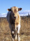 Texas Longhorn  Calf Standing  Colorado  USA