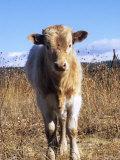 Texas Longhorn  Calf Standing  Colorado  USA