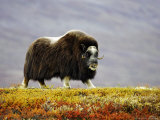Musk Ox  Adult Female Walking Across Tundra in Autumn  Norway