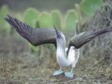 Blue Footed Booby  Sky Pointing Courtship Display  Galapagos