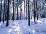 Forest in Winter  Alsace  France