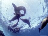 Galapagos Sea Lion  Frolicking Underwater  Galapagos