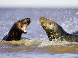 Grey Seal  Sub-Adults Play-Fighting in Water  UK