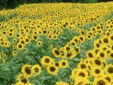 Sunflowers  Helianthus Annuus Frankfort  KY