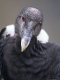 Andean Condor  Adult Female in Prime Colours  Hacienda Zuleta  Cayambe