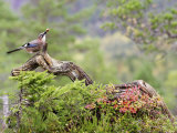 Jay  Adult Feeding on Hazelnut on Fallen Log in Forest in Autumn  Norway