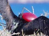 Great Frigate Bird  Male in Courtship Display  Genovesa Island  Galapagos