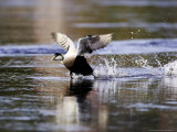 Eider  Adult Male Running Across Water Ready for Take Off  Norway