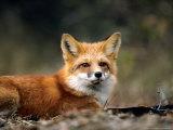 Red Fox  Lying  Quebec  Canada