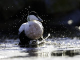 Eider  Adult Male Splashing Through Shallow Water  Norway