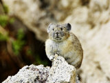 Pika  Sitting on Rock  Wyoming  USA