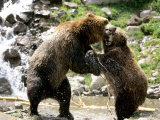 Grizzly Bears  Male and Female Playing  Quebec  Canada