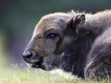 European Bison  Close-up of Young Calf Laid Down Resting (Captive)  Scotland