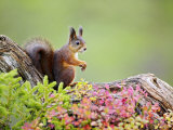 Red Squirrel  Portrait of Adult on Fallen Log in Autumnal Forest  Norway