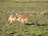 Vicuna  Males in High Speed Chase  Peruvian Andes