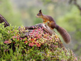 Red Squirrel  Adult on Fallen Log  Norway
