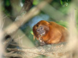 Golden Lion Tamarin  Feeding  Atlantic Rainforest  Brazil