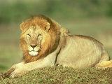 Lion  Panthera Leo  Masai Mara Game Reserve  Kenya