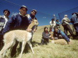 Vicuna Chaccu  Annual Roundup of Wild Herds for Shearing  Junin  Peruvian Andes