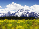 Snow-Capped Mount Moran & Teton Range with Yellow Flowers  Wyoming  USA